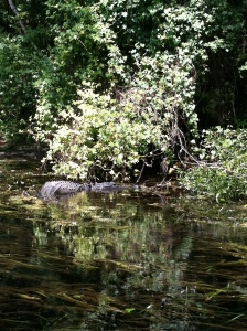 The gators were up river at Wakulla Springs State Park