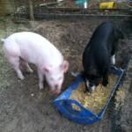 raising an FFA pig