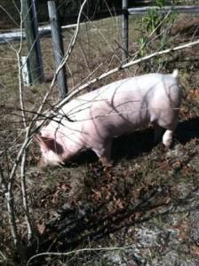 SEYF Market Swine Project