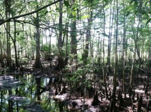 Swamp at Black Bear Wilderness Area, Sanford, FL