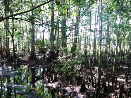 Swamp at Black Bear Wilderness Area, Sanford, FL