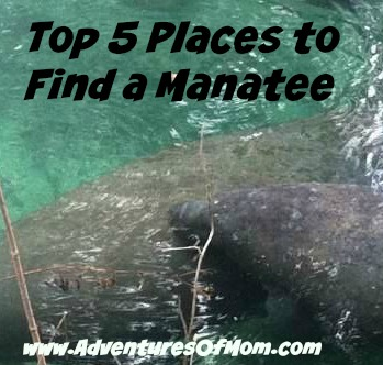 Adventures of Mom Top 5 Places to Spot a Manatee