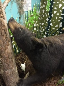 This stuffed bear was in the Silver Springs State Park Museum: our last bear sighting of 2015!