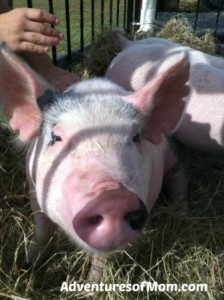 It's hard to resist such a cute pig!