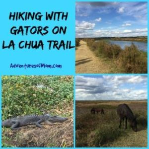 Walking with gators on Florida's La Chua Trail