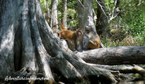 The feral monkeys of the Silver River