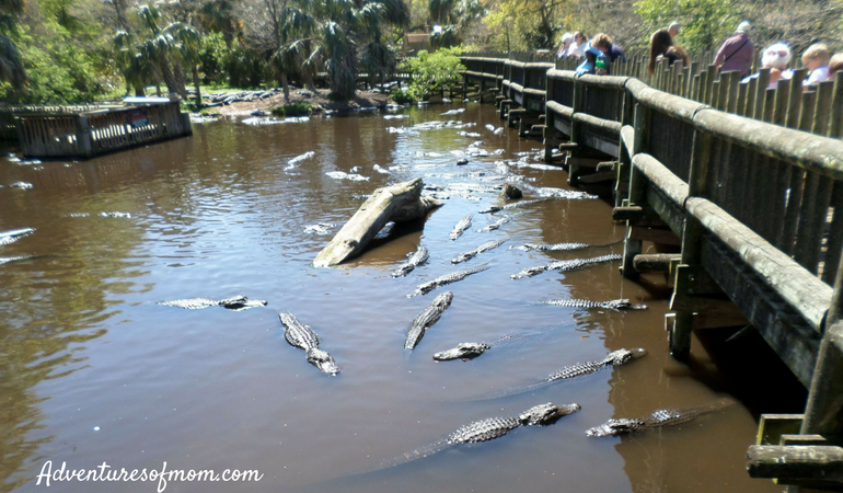 Over the swamp at St. Augustine's Alligator Farm- one of the top family attractions in America's oldest city.