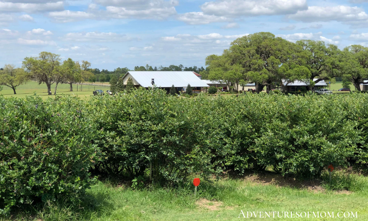 9 varieties of blueberies can be picked at the Red, White, & Blues Farm in Williston, Florida