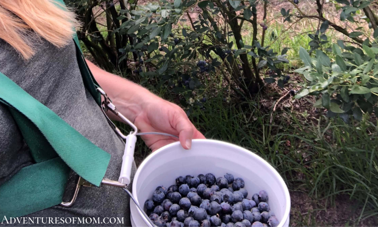 Picking Blueberries at Red, White & Blues Farm in Florida