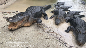 Behind the scenes at Florida's Gatorland: Trainer for A Day Program