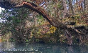 Tree over the River. Ichetucknee Springs State Park