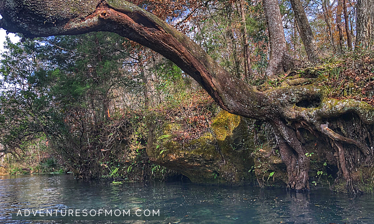 Tree over the River. Ichetucknee Springs State Park