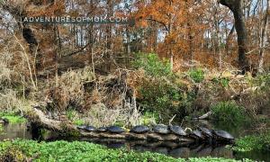 Turtle Log on the Ichetucknee