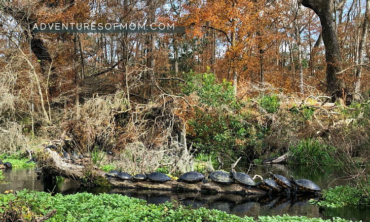 Turtle Log on the Ichetucknee