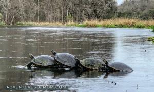 Turtle Time on the Ichetucknee River