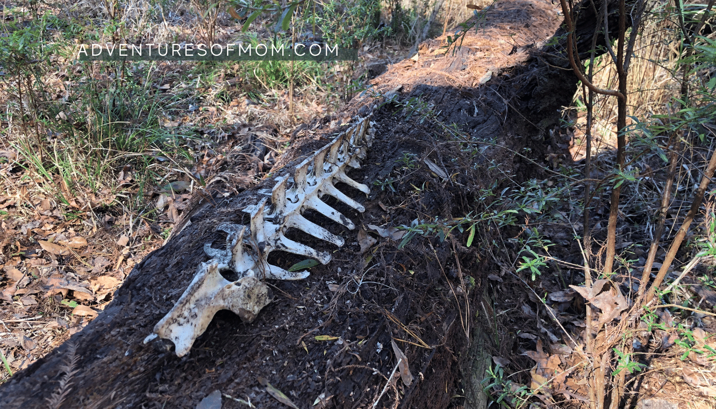 We stumbled across a skeleton in the woods at O'Leno State Park